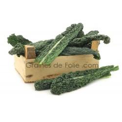 Chou Palmier Kale Noir de TOSCANE semences graines de folie .com