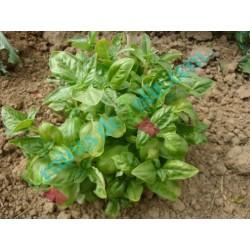 Basilic «Grand Vert GENOVESE»