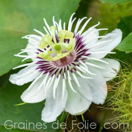 Passiflora FOETIDA - graines semences seeds