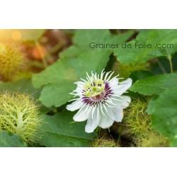 Passiflora FOETIDA - graines semences seeds