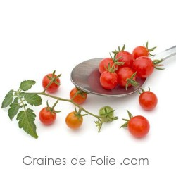 Tomate RED CURRENT graines BIO groseille