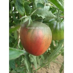 Tomate BRAD'S BLACK HEART - sur pied avant maturité
