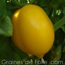 Tomate TETON de VENUS JAUNE - semences graines variétés légumes anciens