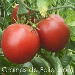 Tomate BURBANK BIO graines semences anciennes