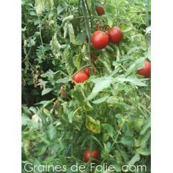 Tomate OSU BLUE Bio graines semences non-hybride f1
