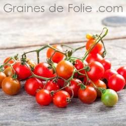 Tomate PETIT MOINEAU BIO - semences graines tomates anciennes à pollinisation ouverte