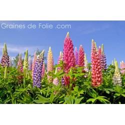 LUPIN DES JARDINS - graines semences plantes fleurs vivace