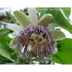 GRENADILLE SAUVAGE Passiflora nitida semences graines seeds wild grenadilla