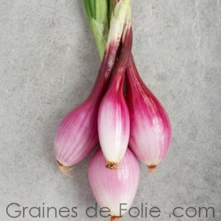 Oignon ROUGE de FLORENCE semences graines