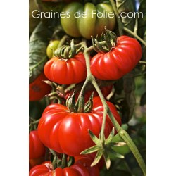 Tomate COSTULOTO GENOVESE semences graines bio
