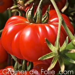 Bio Tomate COSTULOTO GENOVESE