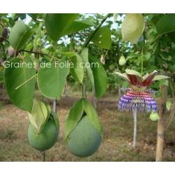 POMME CALEBASSE Passiflora maliformis semences graines samen seeds