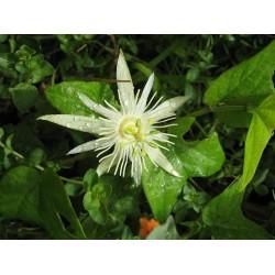 PASSIFLORE VANILLE passiflora capsularis semences graines seeds samen
