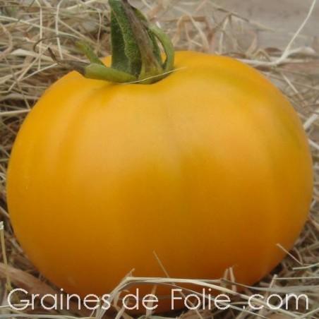 Tomate GEANTE BELGE JAUNE ou YELLOW GIANT BELGIUM semences graines bio tomato seeds