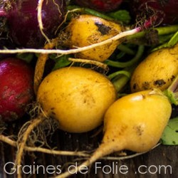 Radis Jaune ZLATA graines semences yellow radish seeds