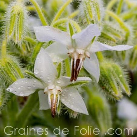 BOURRACHE à fleurs blanches semences graines borago white alba seeds borage