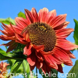 Tournesol soleil RED SUN semences graines red sunflower seeds