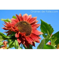 Tournesol soleil RED SUN semences graines red sunflower seeds