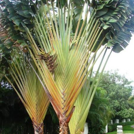 Arbre du voyageur Sud Américain Phenakospermum Guyannensis ravenala guyannensis semences graines seeds samen semillas