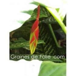 Héliconia ROSTRATA semences graines pince de homard samen seeds semillas