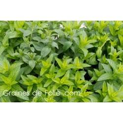 MENTHE VERTE Mentha Spicata semences graines seeds
