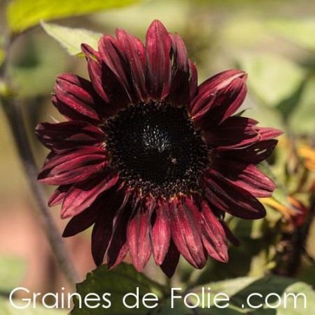 Tournesol chocolat VELVET QUEEN semences graines