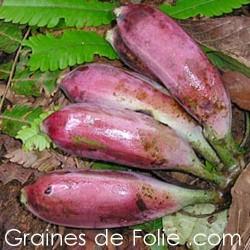 Bananier  BURMESE BLUE musa itinerans semences graines seeds samen semillas