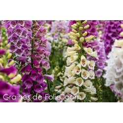 Digitale purpurea MIX COULEURS digitalis semences graines seeds samen