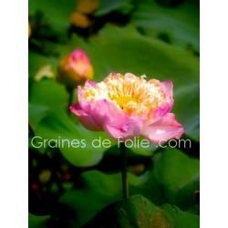 LOTUS ROSE PLEANUM - semences graines nelumbo pink seeds samen