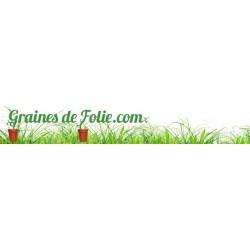 Aubergine ROTONDA BIANCA SFUMATA DI ROSA ronde rose graines semences