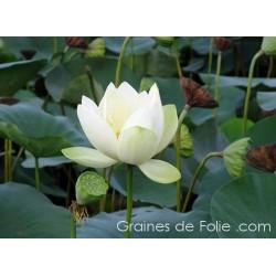LOTUS BLANC Nelumbo Nucifera seeds white