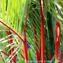 Palmier ROUGE Cyrtostachys Renda seeds samen