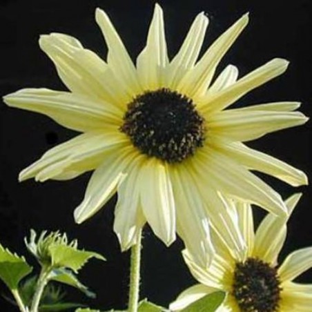 Tournesol ITALIAN WHITE graines grains semences
