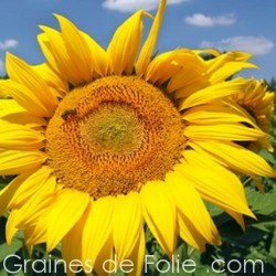 Tournesol GIANT GREY STRIPED graines grains semences
