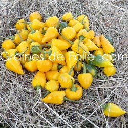 BIO Piment BONBON PFEFFERONI graines