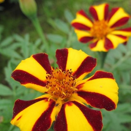 Oeillet d' Inde Mr MAJESTIC graine semences marigold seeds