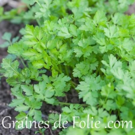 Bio Persil Plat Commun graines semences certifiées agriculture biologique