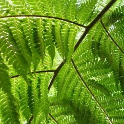 FOUGERE ARBORESCENTE Cyathea Australis spores graines semences samen seeds