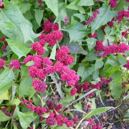 EPINARD FRAISE Chenopodium capitatum graines semences wikimedia Derek Ramsey (Ram-Man)