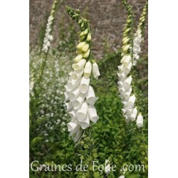 Digitale BLANCHE white digitalis purpurea alba graines seeds samen