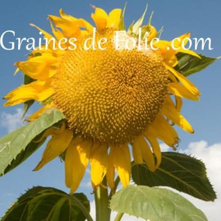 tournesol TITAN graines