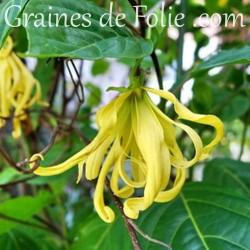 YLANG YLANG cananga odorata graines semences seeds samen semilla sementi