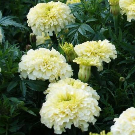 Rose d 'Inde blanc KILIMANJARO graines semences