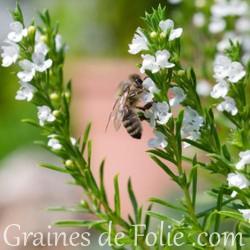 Bio  THYM COMMUN thymus vulgaris graines semences certifiées agriculture biologique