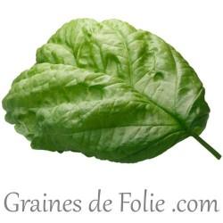Basilic MAMMOUTH graines semences basil basilicum seeds
