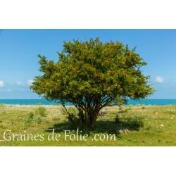 GRENADIER Punica Granatum graines semences seeds samen