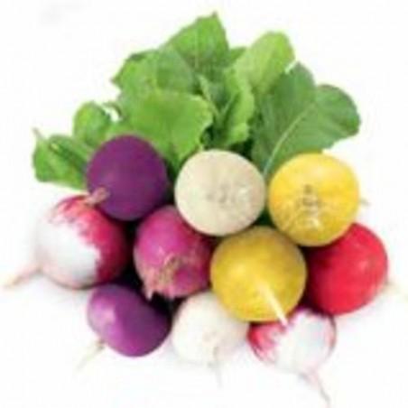 Radis Ronds mélange MULTICOLORE graines semences mix radish seeds