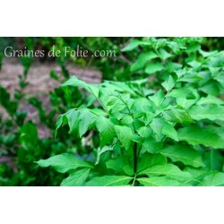 Réglisse Glycyrrhizza glabra graines semences seeds samen sementi semilla zaden