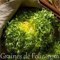 Chicorée Frisée FINE DE LOUVIERS graines semences