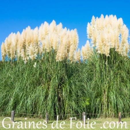 HERBE DES PAMPAS  Cortaderia Selloana graines semences seeds